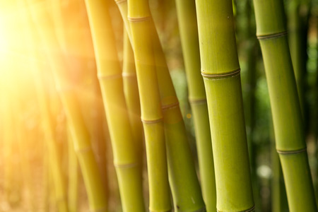 bamboo background: Bamboo forest  Stock Photo