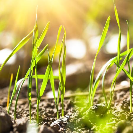 germinación: La germinación de trigo de cerca