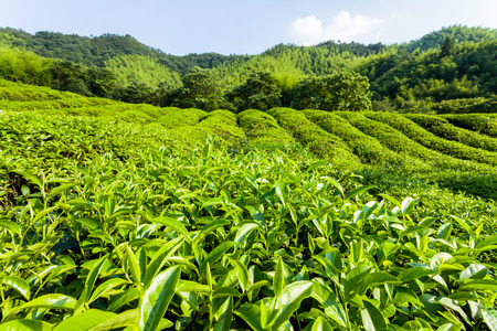 Green tea garden on the hill,China south photo