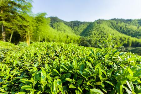 tea garden: Green tea garden on the hill,China south