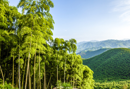 bamboo forest: Bamboo and mountains