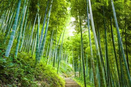 Bamboo forest and walkway Stockfoto