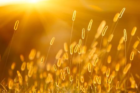 bristly: sunlight with setaria,beautiful background Stock Photo