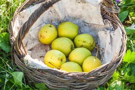 Green pears in the basket photo