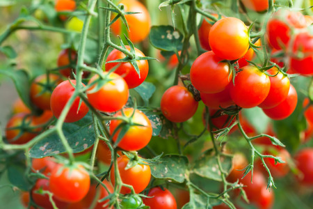 plante: tomates cerises