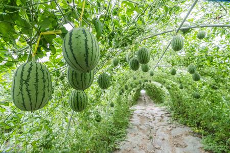Wassermelone im Gewächshaus Standard-Bild - 52380279