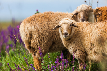 Sheep in basil field