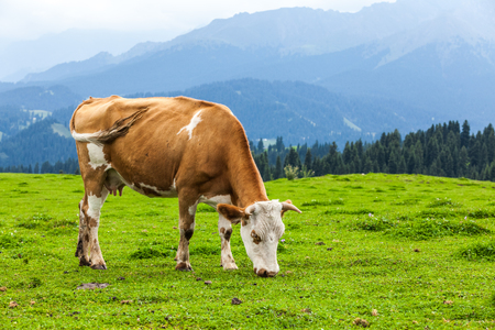 Cow eating grass