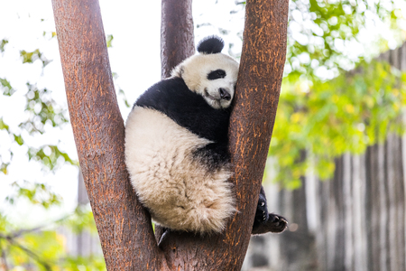 panda en el zoológico de China Foto de archivo