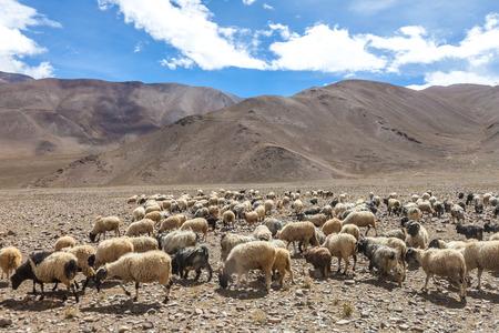 sheep in Himalaya mountains of Tibet