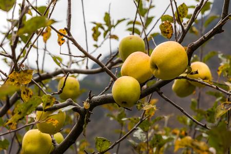 apple on tree in Sichuan China Reklamní fotografie - 123024269