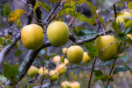 apple on tree in Sichuan China Reklamní fotografie - 123024271