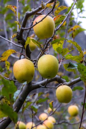 apple on tree in Sichuan China Reklamní fotografie - 123024272