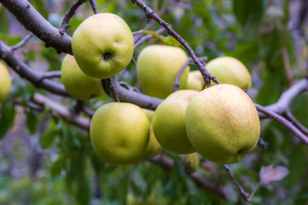 apple on tree in Sichuan China