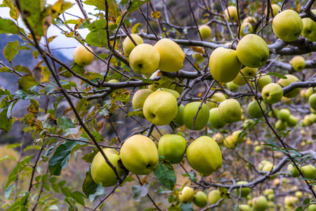 apple on tree in Sichuan China Reklamní fotografie - 123024277