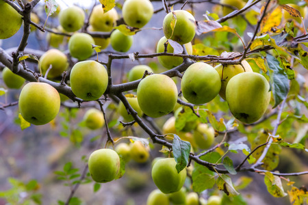 apple on tree in Sichuan China Reklamní fotografie - 123024278