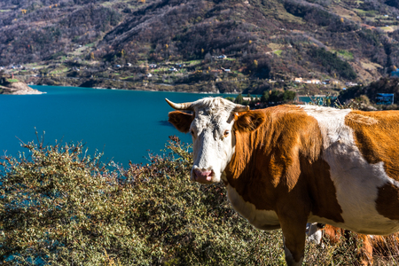 cow at lakeside in China