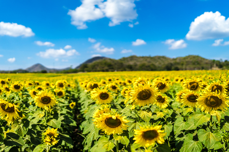 sunflowers in field of Thailand