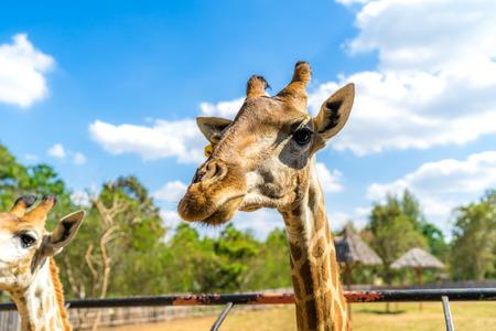 close up of giraffe head in zoo Reklamní fotografie - 123026236