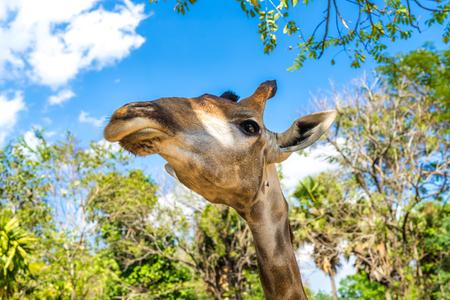 close up of giraffe head in zoo Reklamní fotografie - 123027452