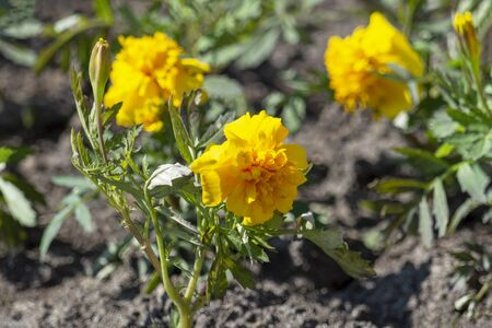 Yellow flowers of marigold on a flower bed. Front view from above Stok Fotoğraf