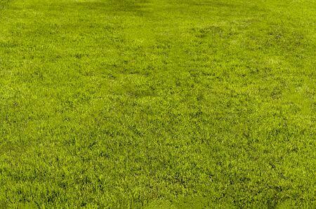 Yellow-green lawn. Shorn lawn. Front view Stok Fotoğraf - 126591852