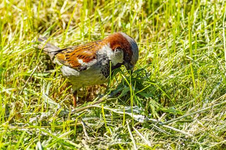 Sparrow on the green lawn. Front view from above Stok Fotoğraf