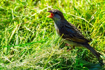 Young sparrow on the green lawn with open mouth. Front view from above