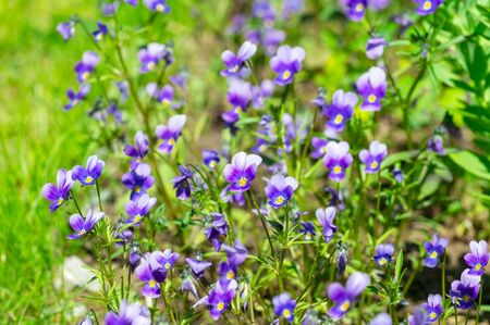 A lot of yellow-violet violets. Front view. Stok Fotoğraf