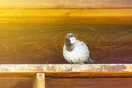 A sparrow sits on an old wooden visor. Front view