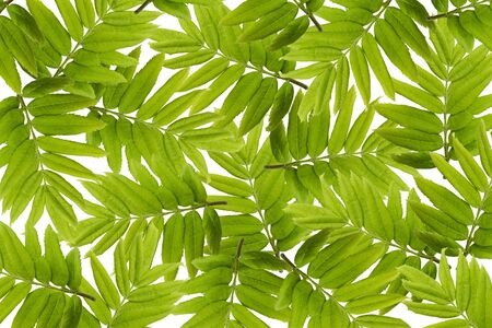 Green leaves pattern. Isolate on white background