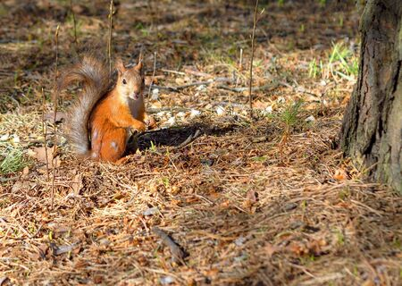 A squirrel, orange with gray specks, runs through the spring forest in Siberia. Nature Stok Fotoğraf