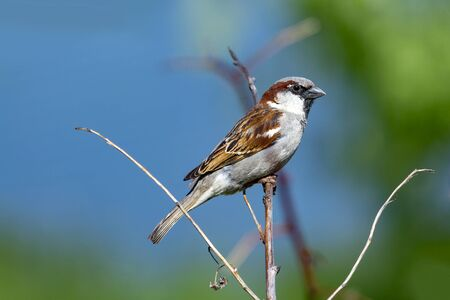 Sparrow sits on a tree branch in summer. Front view Stok Fotoğraf - 131261076