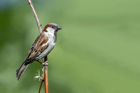 Sparrow sits on a tree branch in summer. Front view