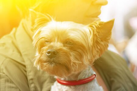 Dwarf decorative dog-terrier, portrait, in the arms of the mistress in the sun. Front view.