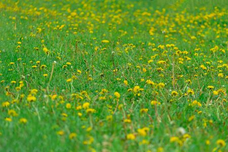 Dandelion field. Green grass in the summer. Textured background. Selective focus and shallow depth of field. The idea of ??the author.