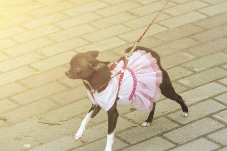 Decorative dog dwarf pinscher on leash in collar runs on sidewalk. Dressed in pink dress. Front view