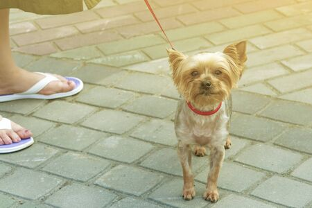 Decorative dog on leash in collar. Near feet of the mistress. Front view Stok Fotoğraf