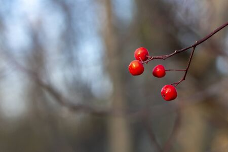 Red rowan berries on a tree without leaves in the fall. Concept. Front view. Stok Fotoğraf - 133322413