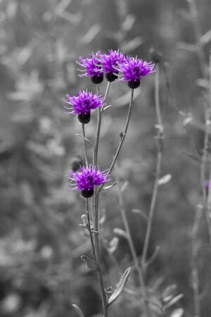 Flowers of a plant Greater burdock (Arctium l?ppa) on a black and white background. Concept. Vertical shot. Front view. Stok Fotoğraf - 133322415