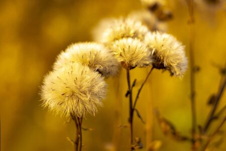 Flowers withered of a plant Greater burdock (Arctium l?ppa). Autumn Front view. Stok Fotoğraf - 133322419
