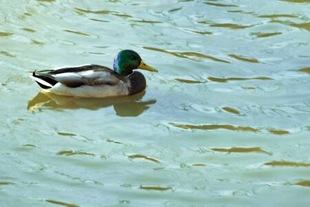Duck on water of lake in western Siberia. Side and top view. Stok Fotoğraf