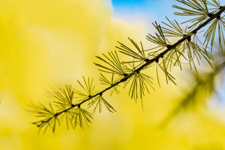 Larch branch on background of autumn vegetation. Front view. Stok Fotoğraf - 133322437