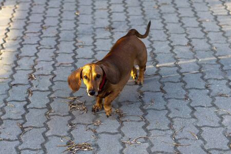 Brown dachshund dog walks along path in park. Top view of front. Stok Fotoğraf