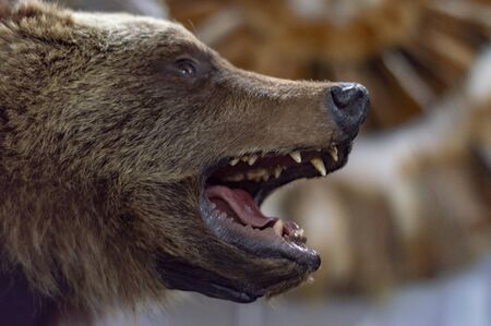 The head of a brown bear with grinning teeth. Taxidermy stuffed. Side view.
