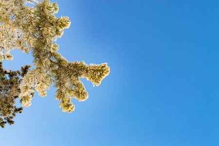 Branch of Siberian pine in snow against sky. Place to text.