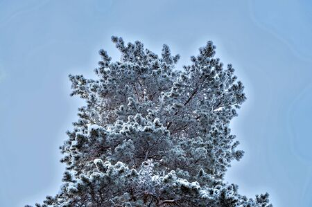 Siberian pine in the snow. Krone. View from below. Stok Fotoğraf