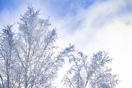 Snow-covered birch trees in other. View from front in Siberia