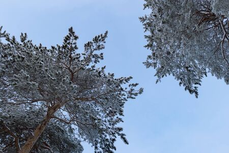 Crowns are high pines. Winter of Siberia