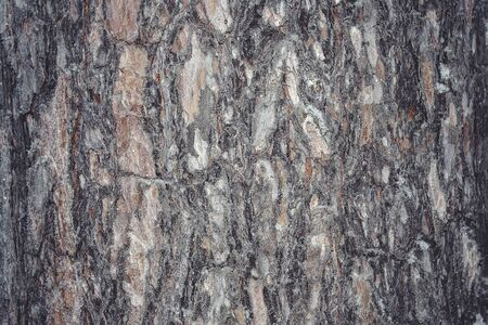 The bark of the pine tree. Textural background